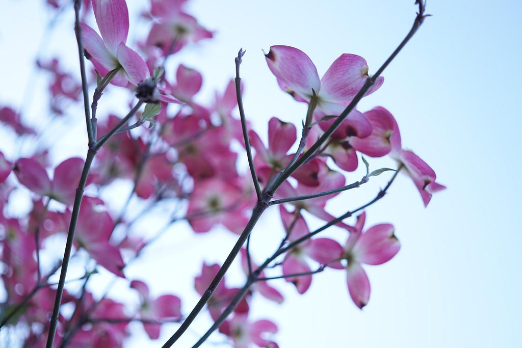 April 11 2015  Pink dogwood blossoms