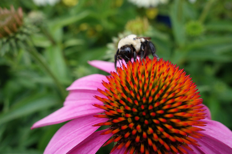 July 27 2013   Coneflower and Bee