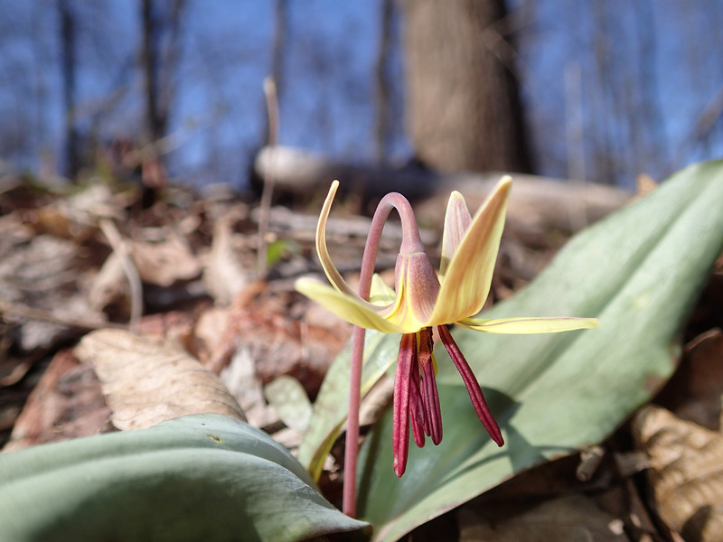 March 26 2014   Trout lily, an early spring wildflower