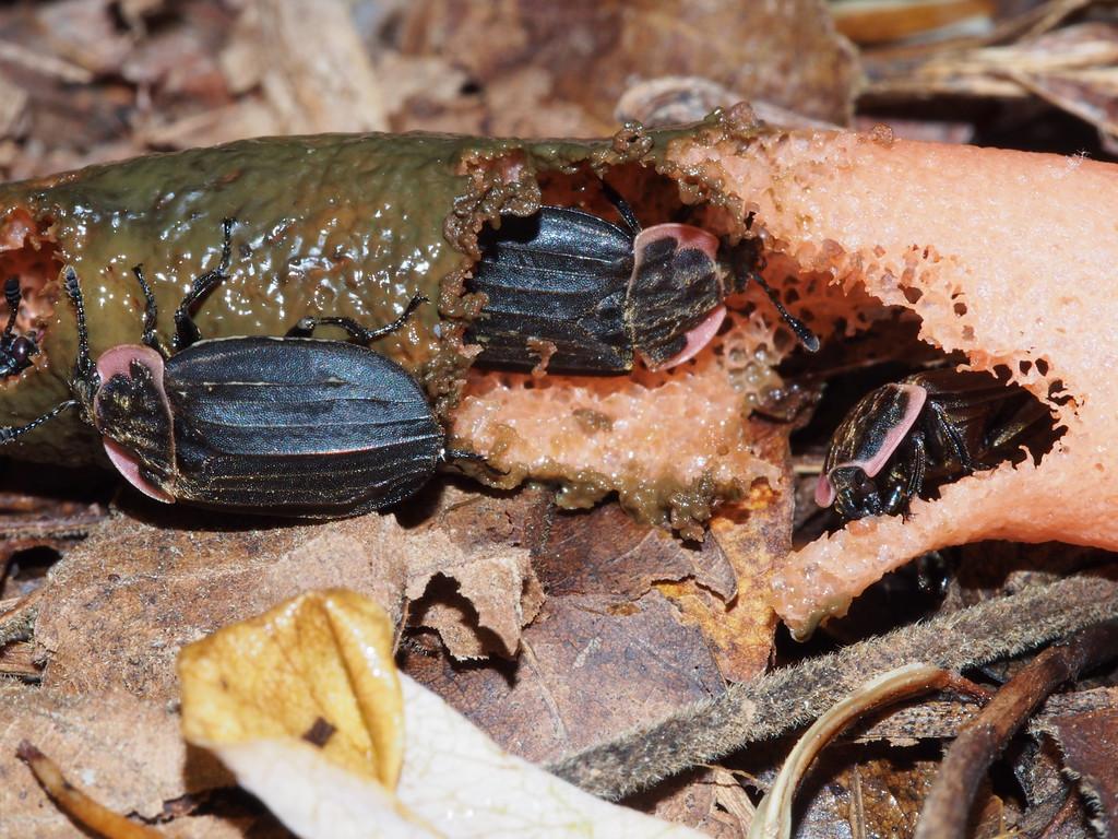 May 26 2015  Fireflies feeding on stinkhorn