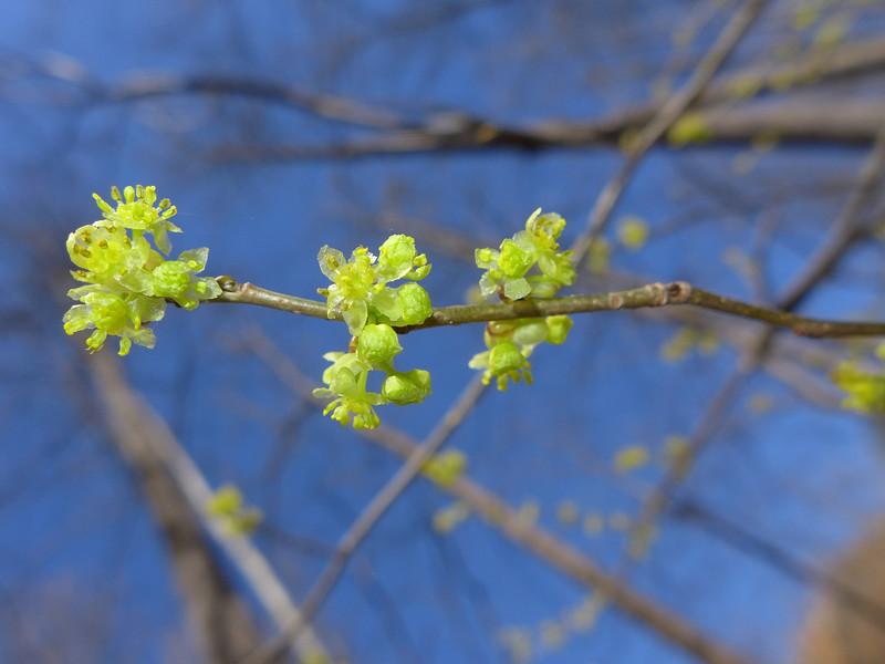 March 20 2013  Spicebush Blooms
