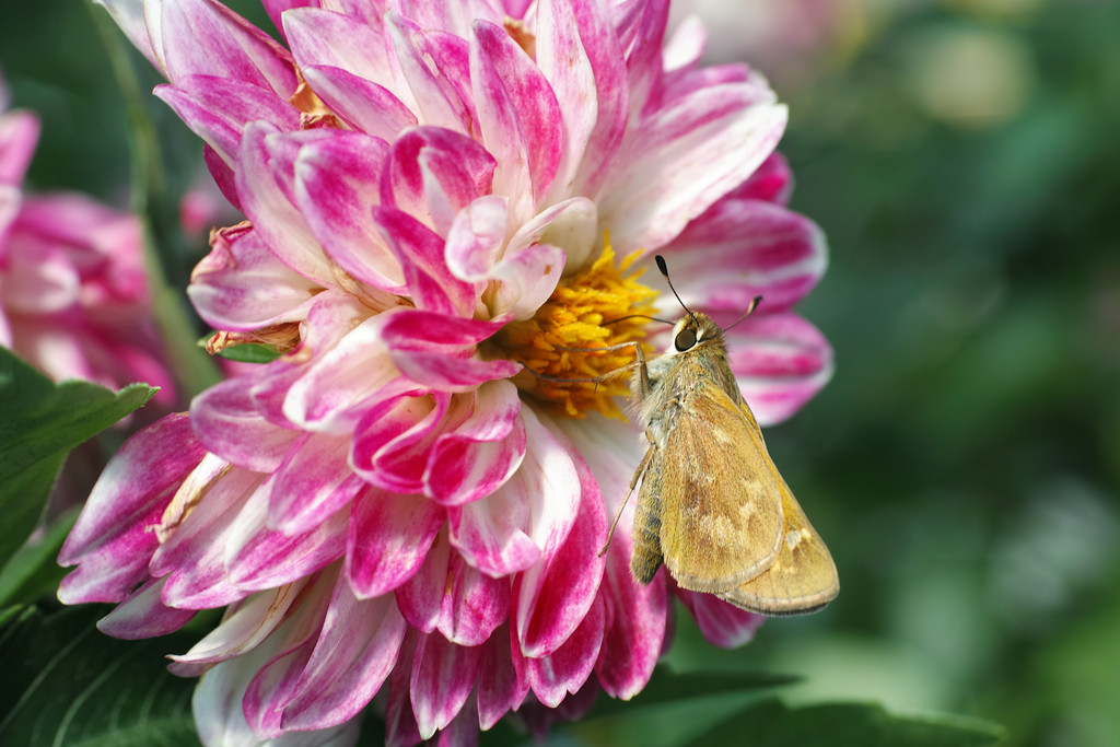 July 5 2014  Butterfly on dahlia