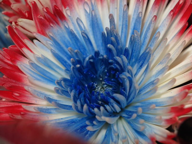 May 24 2013   Patriotic Flower