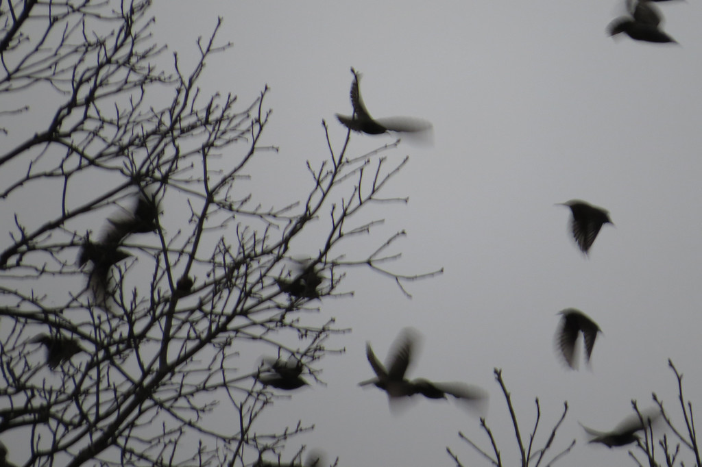 December 2 2013  Starling flight