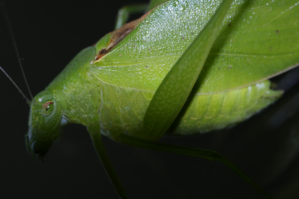 July 27 2014  Katydid or katydidn't