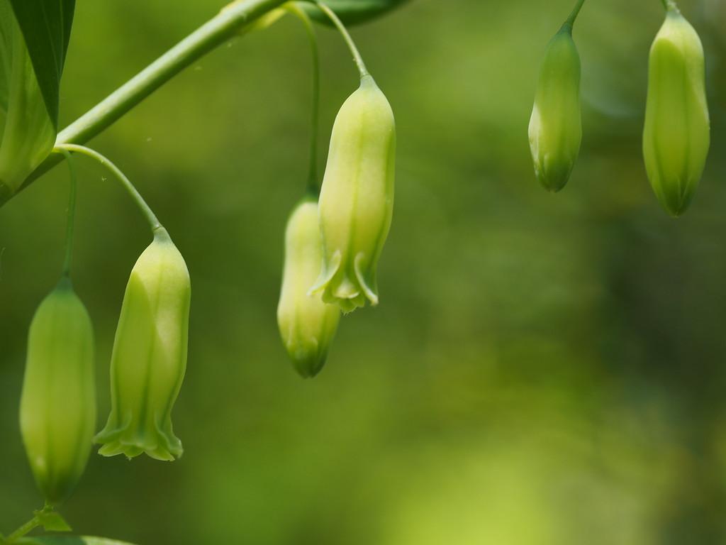 May 7 2015  True Solomon's seal flowers in dappled sunlight
