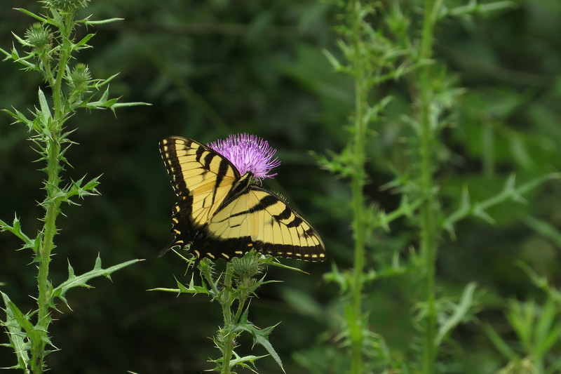 July 28 2014  Tiger swallowtail on thistle