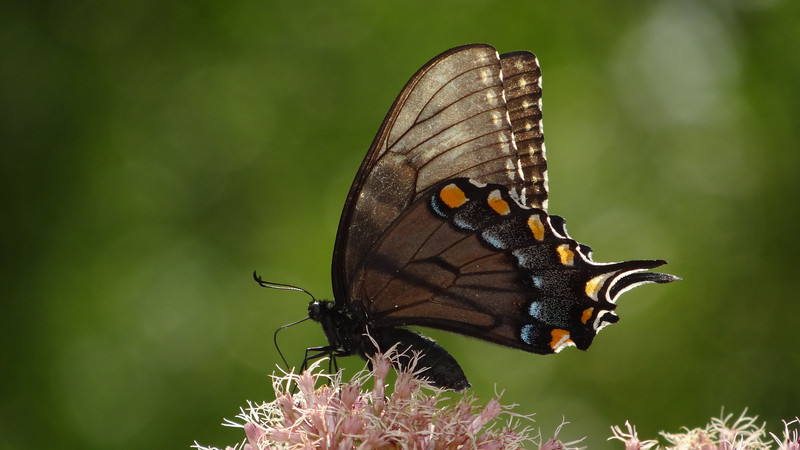 August 19 2011  Butterfly days of summer