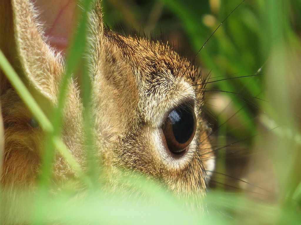 July 30 2013   Rabbit in the Grass