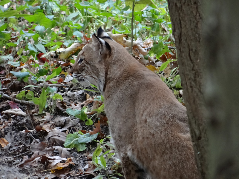 October 20 2012   Pensive Bobcat