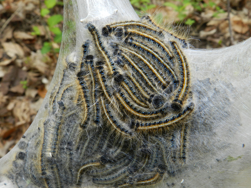 April 16 2011  Eastern Tent Caterpillars- Do They Really Camp?