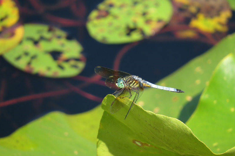 July 12 2014  Dragonfly at the lake