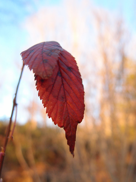 December 13 2012   Sunset Leaf