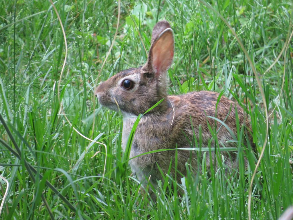 May 7 2013   Rabbit Salad Bowl