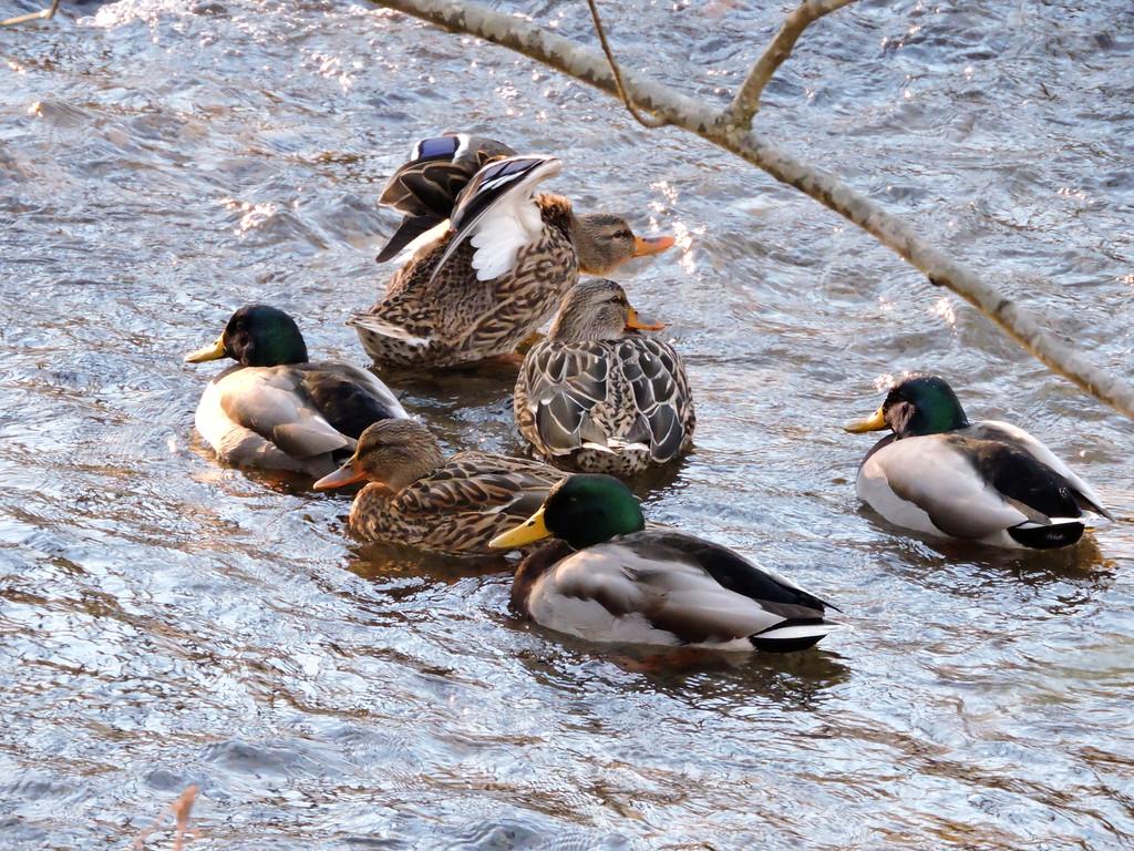 January 10 2015  Mallards on the creek