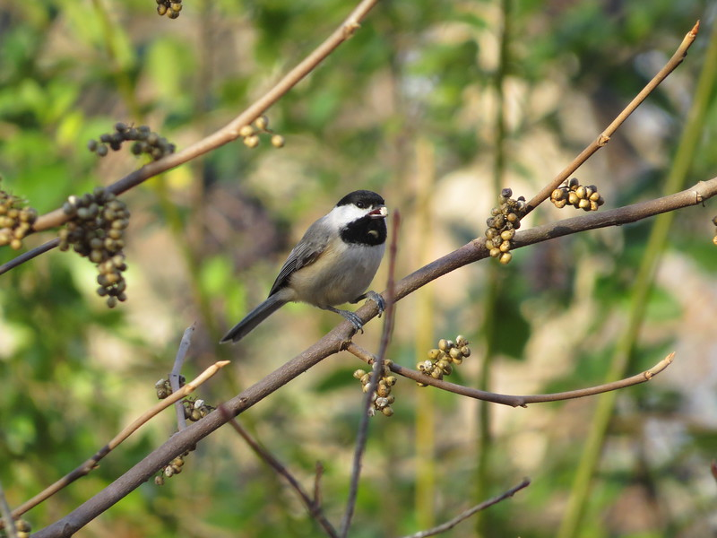 November 11 2013  Chickadee snack