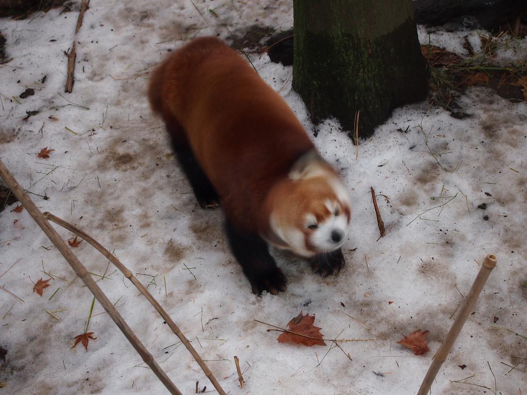 December 20 2013   Red panda shaking