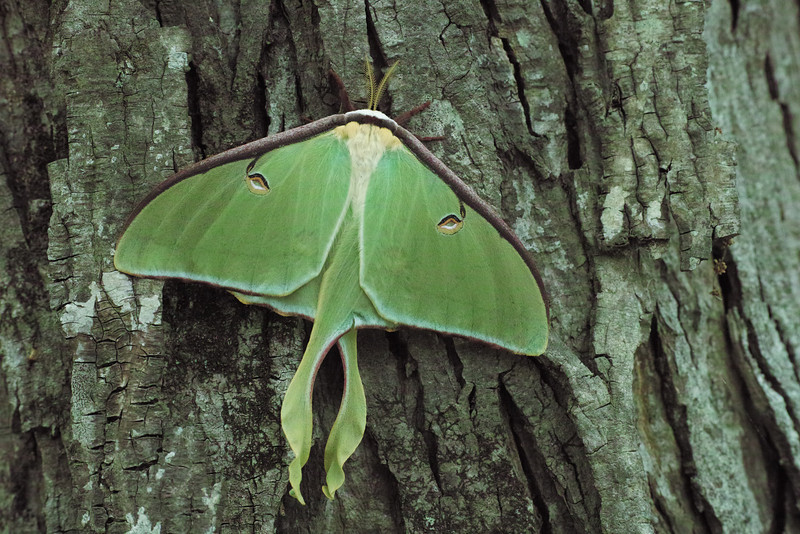 May 1 2014   Luna moth