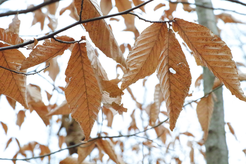 December 3 2013   Marcescent beech leaves
