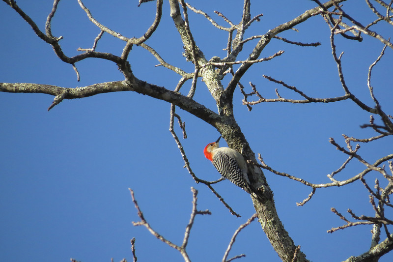 February 7 2014  Red-bellied woodpecker against blue sky
