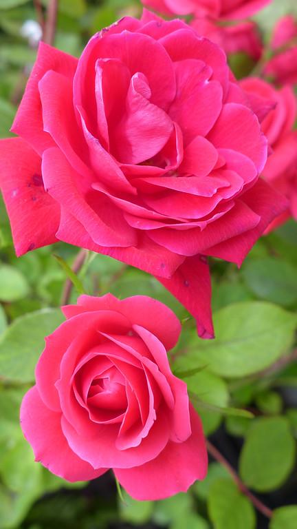 April 21 2013   Roses are Red (Reddish Pink)