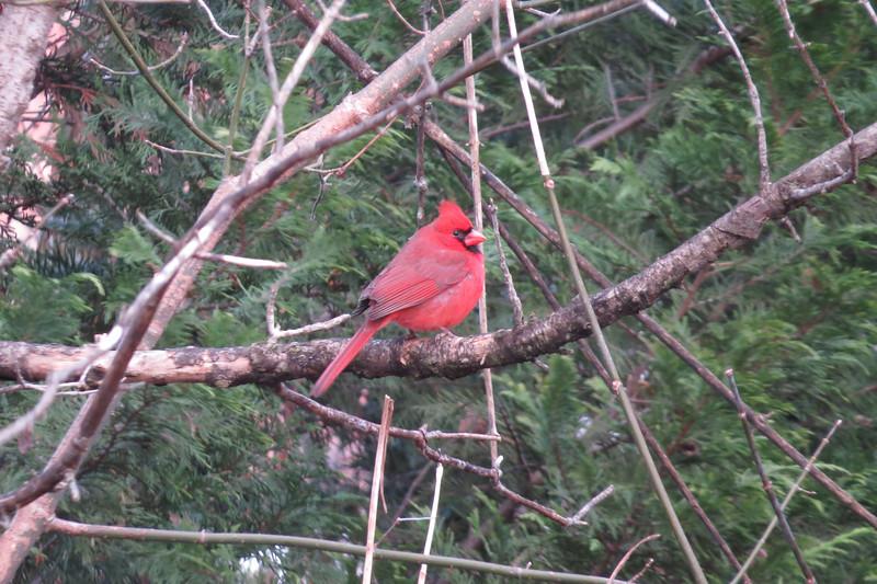 December 10 2013   Paused cardinal
