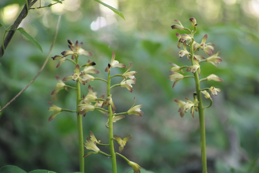 May 11 2014   Putty root orchid flowers