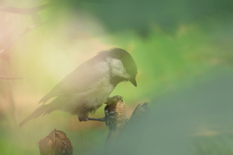 August 29 2014 Chickadee through the leaves