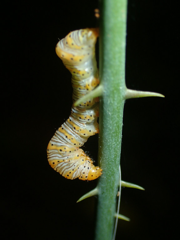 August 22 2014  Caterpillar avoiding the spines