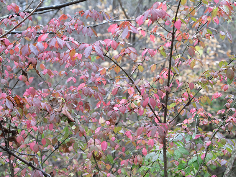 November 6 2012   Blushing Euonymus