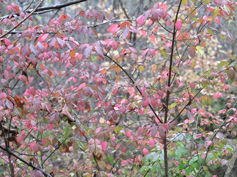 November 6 2012   Blushing Euonymus
