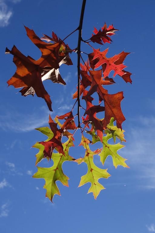 November 6 2013   Oak leaves turning