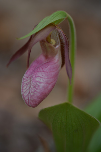 May 4 2013  Pink Lady's Slipper