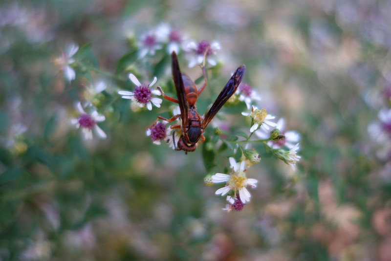 October 11 2013   Wasp on aster