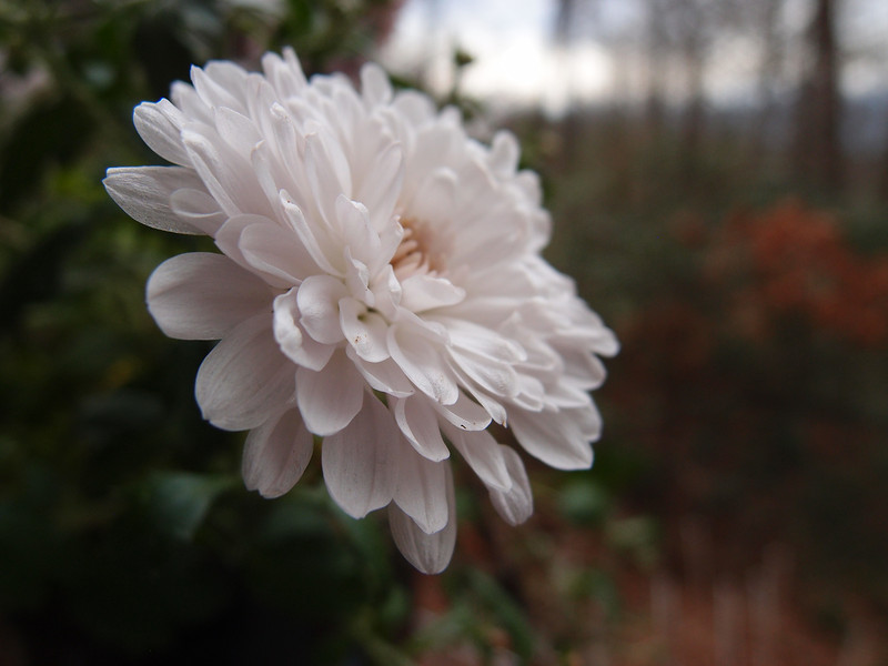 December 20 2012   Fading Chrysanthemum