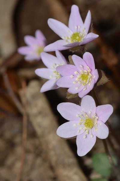 March 18 2013   Pink of New Hepatica
