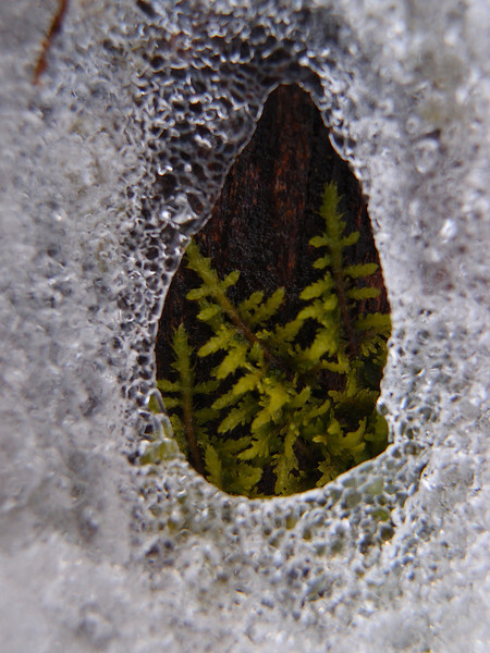 January 26 2013   Moss in Ice