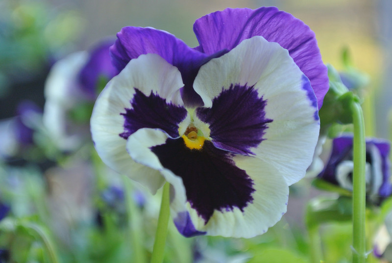 December 7 2012   Purple Pansy