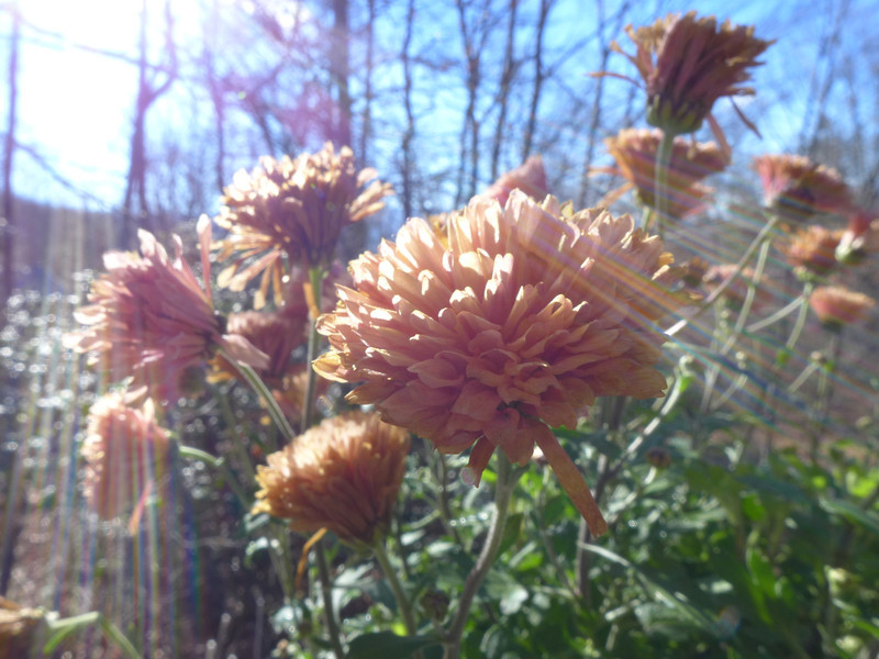 December 18 2012   Sun-struck Flowers