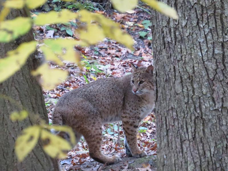 October 19 2013   Pausing Bobcat