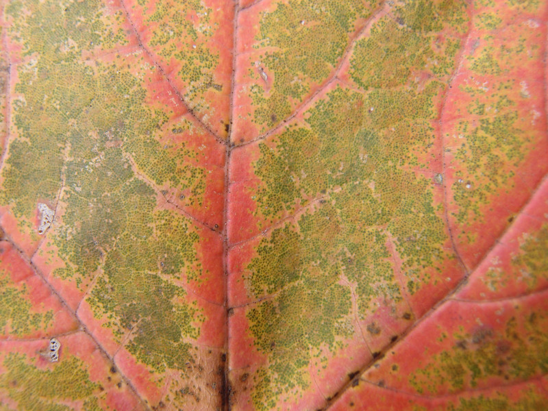 November 4 2012   Maple Veins