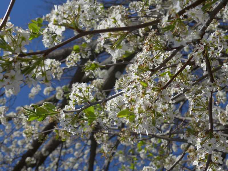 April 3 2013   Tree Blossoms