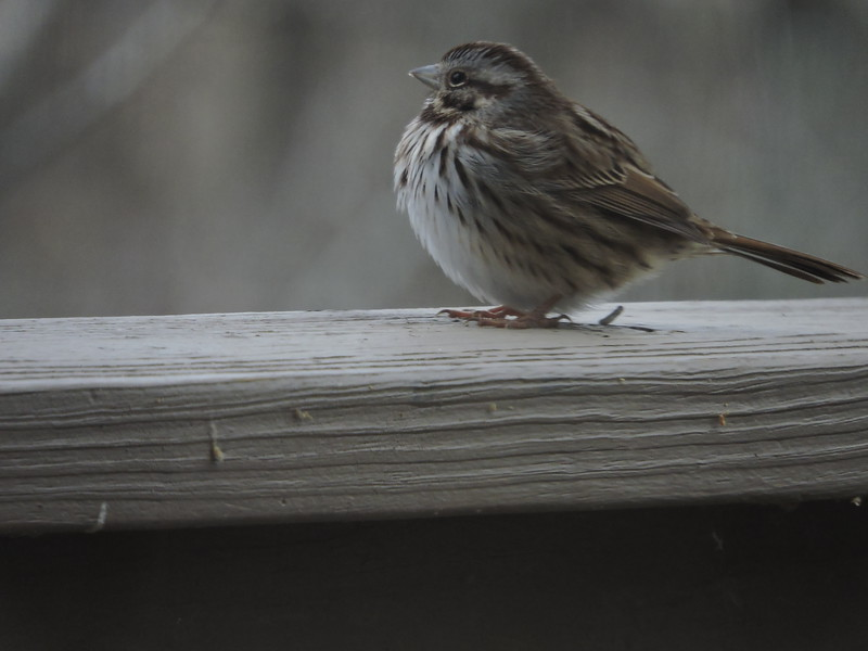 January 7 2015  Sparrow sheltering from snow