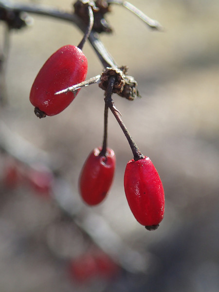 February 27 2014   Winter berries