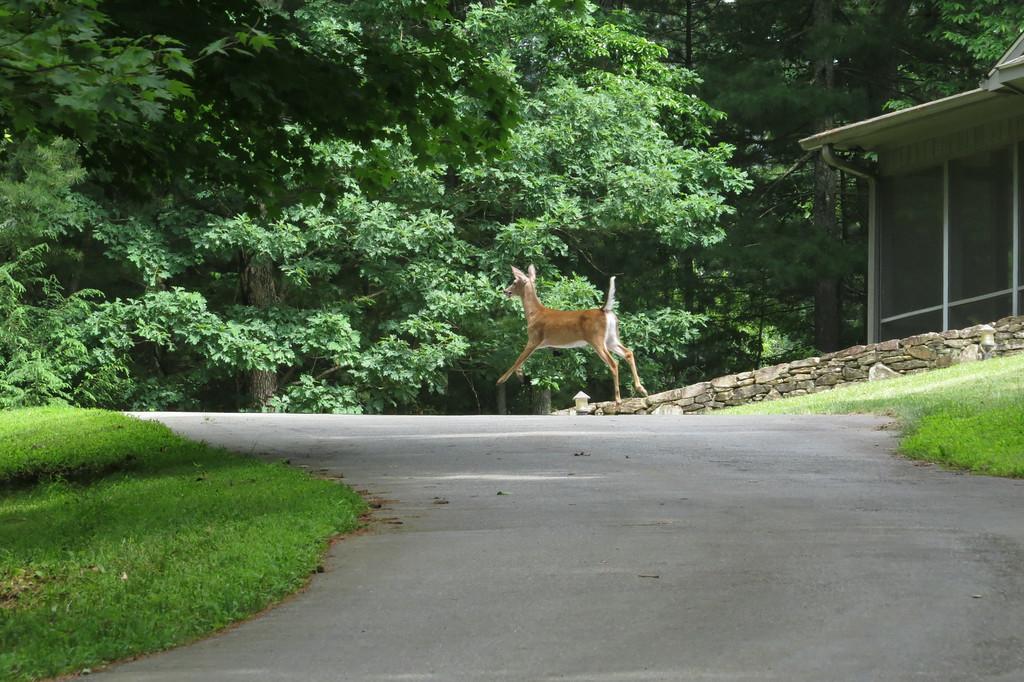 June 4 2014   Airborne Deerfield deer