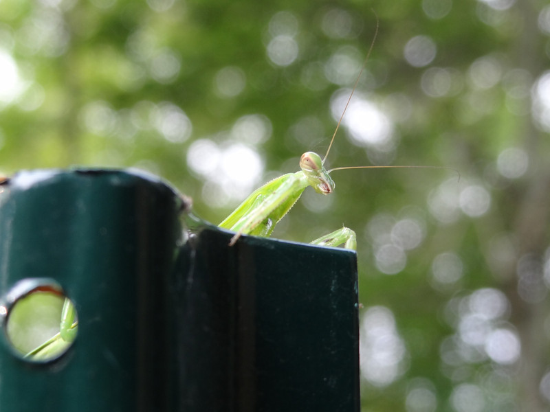 July 2 2011  Praying mantis or alien disembarking from spaceship?