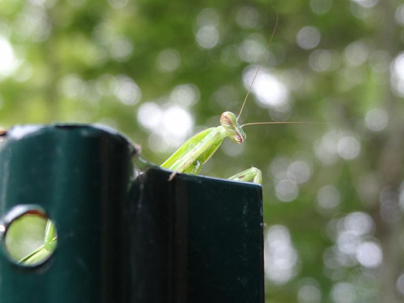 July 2 2011  Praying mantis or alien disembarking from spaceship?