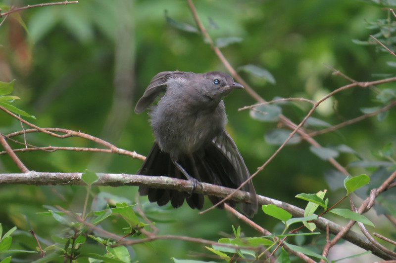 August 9 2014  Catbird in action