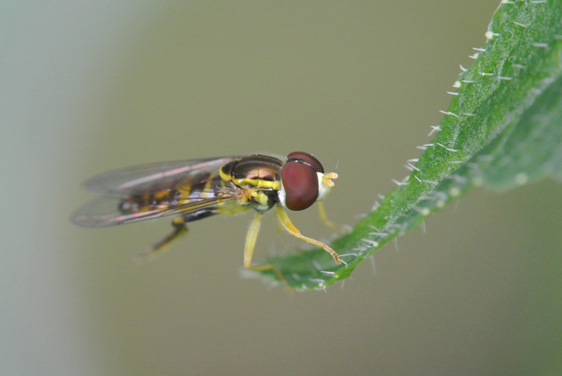 August 21 2013   Hoverfly Pausing Between Hovers