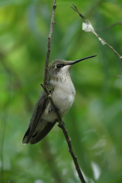 August 15 2014  Perched hummingbird